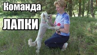 Команда ЛАПКИ/Забавные трюки/Дрессировка собак