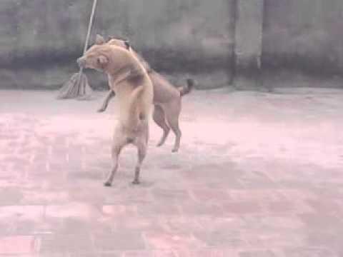 Chọi Chó Pro