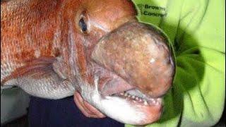 SNAPPER FISHING INSANITY- HOTTEST BITE E...