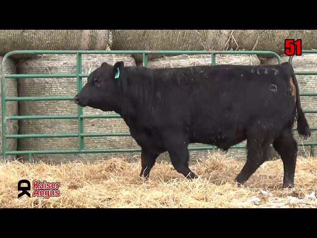 Kaiser Angus Ranch Lot 51