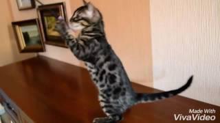 Угольный Бенгальский котёнок и собачка