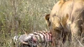 ライオンがシマウマを貪り喰う【閲覧注意】 【閲覧注意】百獣の王ライオ...