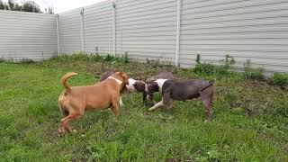 Как научить собаку гавкать
