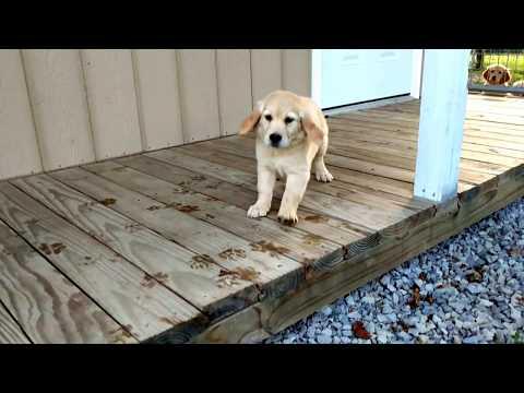 Jewell - Golden Retriever Puppy for sale Ohio