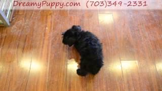 Dreamy Puppy Miniature Schnauzer Girl!