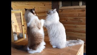 Boys Will Be Boys- Ragdoll Cats