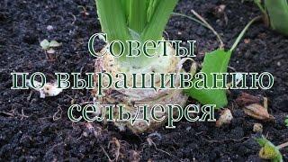 видео Сельдерей корневой. Выращивание из семян и уход