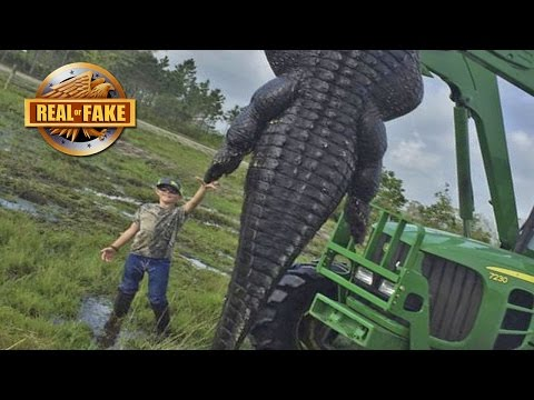 Record Size GIANT ALLIGATOR - Real or Fake?