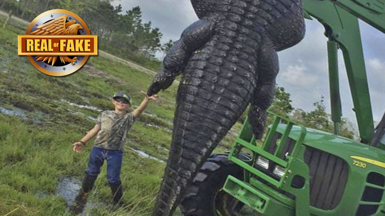 Record Size Giant Alligator Real Or Fake Youtube