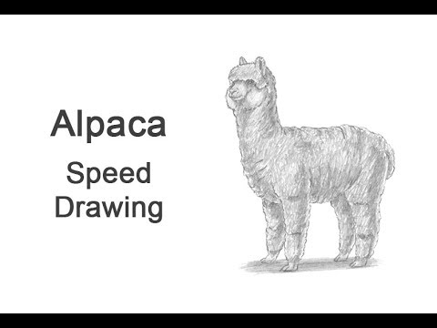 How to Draw an Alpaca VIDEO & Step-by-Step Pictures