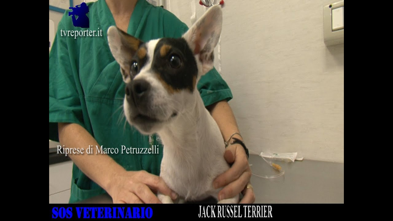 Sos Veterinario Il Jack Russel Terrier Youtube