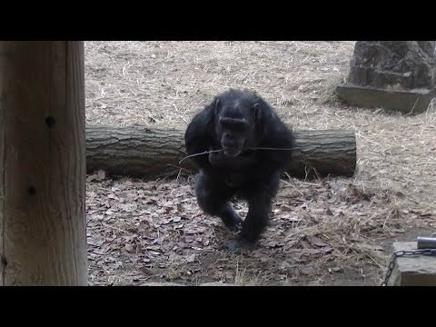 Bipedal chimpanzees.