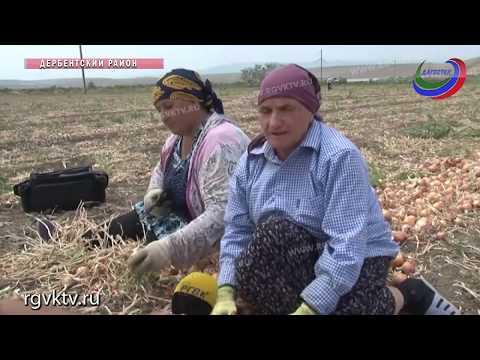 В этом году в Дагестане небывалый урожай овощей