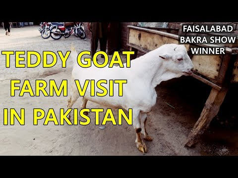 Teddy Goat Farming in Pakistan in 2018 / 2019 by Faisalabad