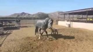 Над жеребцом пошутили игрушечной лошадью.