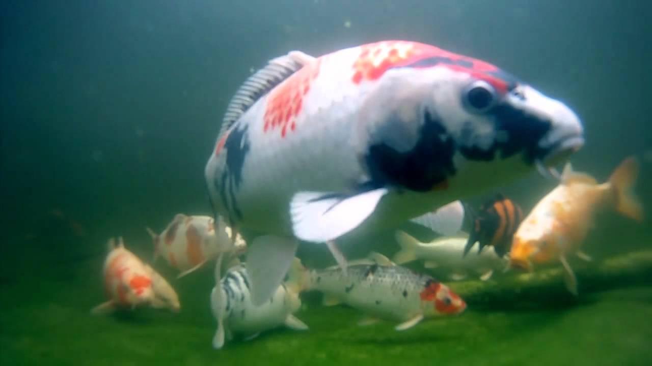 Gopro hd koi pond fischteich underwater slowmotion for Koi fish pond hd
