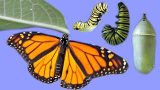 Raising an Egg to a Butterfly - The Life Cycle of the Monarch - METAMORPHOSIS