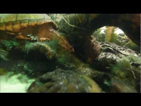 mud turtle care striped baby
