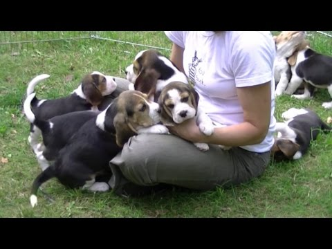 Dlaczego kochamy beagle? Why do we love beagles?