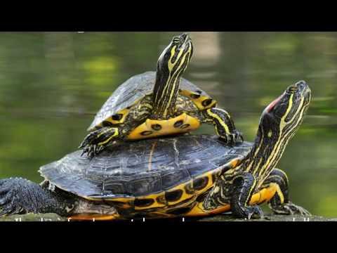 Cinque consigli per il benessere delle tartarughe Trachemys scripta