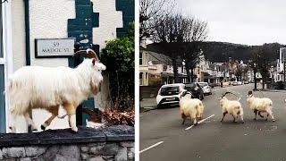 Ozzy Man Reviews: Mountain Goats TAKEOVER