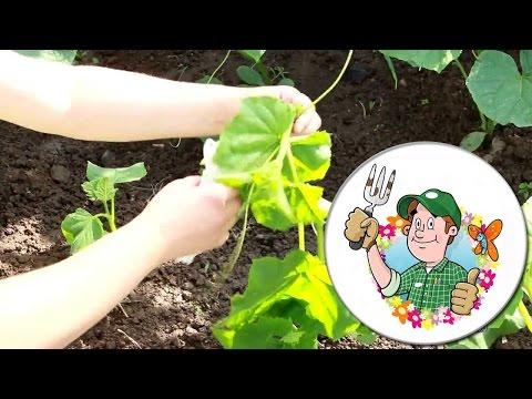Как правильно посадить огурцы в открытый грунт.