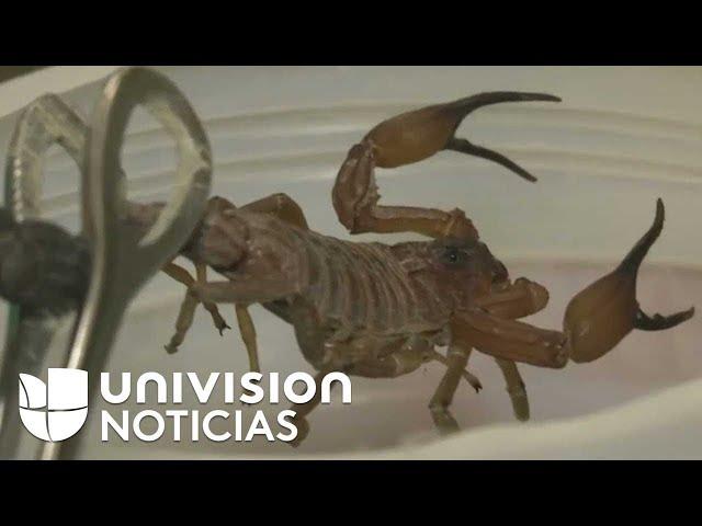 En Cuba utilizan en veneno del escorpión azul para elaborar medicamentos contra varias enfermedades