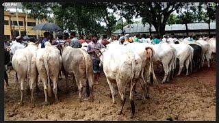 আজ ১১/৭/২০২০ জমজমাট কাহারোল হাটে সস্তায় বলদ গরু || দিনাজপুর ||