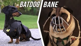 Ep #6: BATDOG vs. BANE  (Cute Dachshund & Pug in Funny Dog Video)