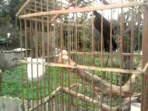 Chao mao dep  CHim Chao mao HOt hay Dr.Nha-0902027057.mp4