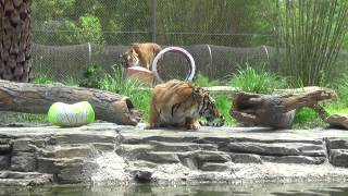 Malayan Tiger Brother Birthday Treat 2