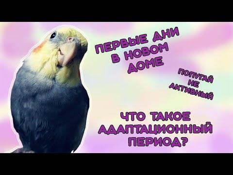 Адаптационный период у попугаев. Первые дни в новом доме
