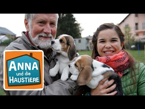 Beagle | Information für Kinder | Anna und die Haustiere