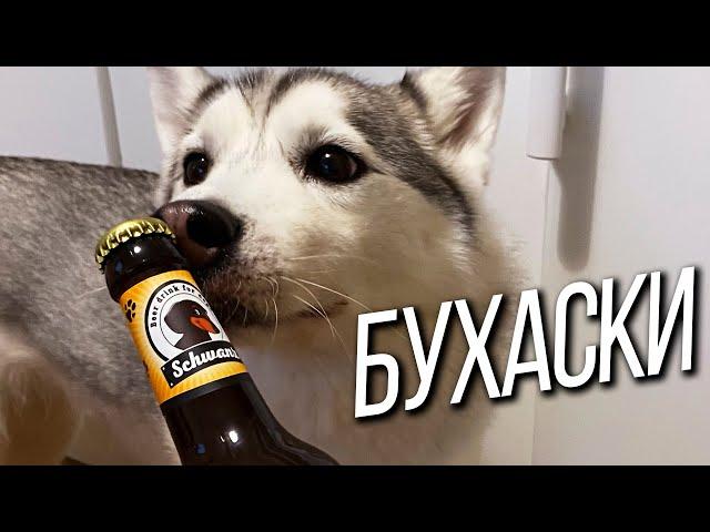 Привязал собаку и ушёл! Подвешенная чиха. Обзор пива для бабак. 30К на удаление зубов у хаски!