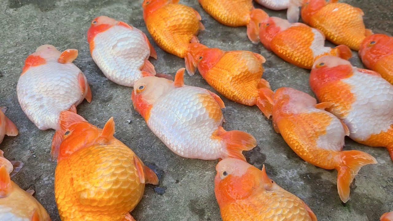 Chết sạch bầy cá RANCHU