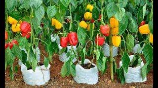 Выращивание садовой герберы: видео-инструкция как сажать своими руками, особенности посадки, ухода, фото