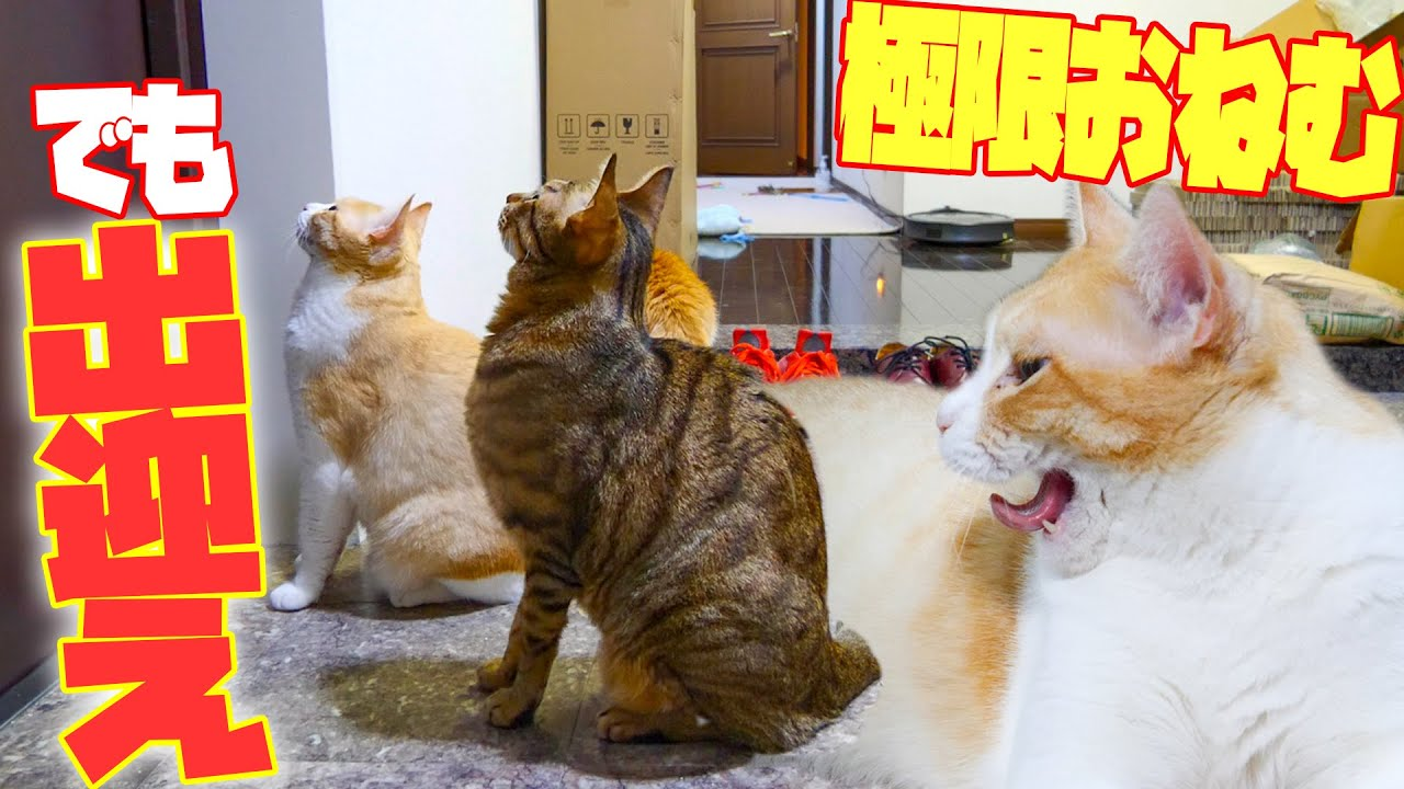 極限に眠たい猫たちは飼い主をお出迎えしてくれる?それとも…