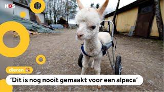 Baby-alpaca kan rennen dankzij gloednieuwe rolstoel
