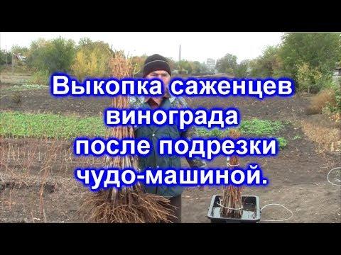 Виноград, сорта, выращивание винограда, купить, продажа (киевская область, украина).