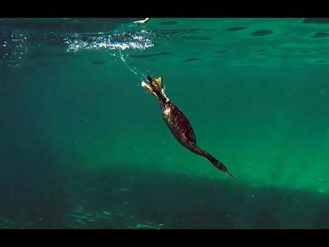 Shag Hunting Fish (Cormorant)