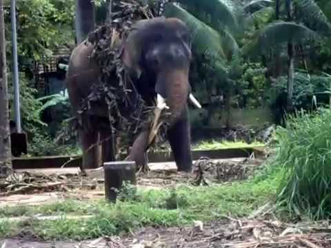 Musth Elephant punnathoorkotta guruvayoor elephant ...