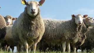 Moutons d'Hondschoote, Haezepoel