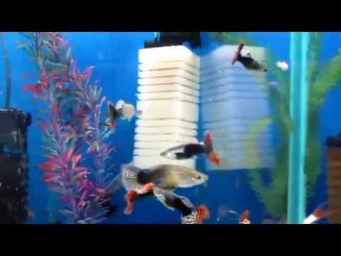 Аквариумная рыбка Гуппи - Содержание и уход