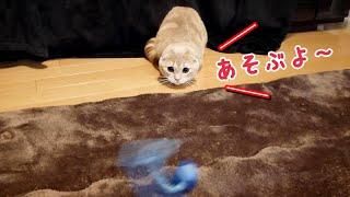 遊びスイッチが入った短足猫の暴走っぷりがこちらです