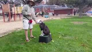 Pitbull Training | San Jose Dog Training | Canine Tutors Dog Training
