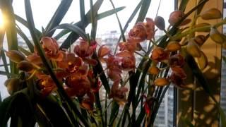Смотреть видео уход за орхидеей цимбидиум
