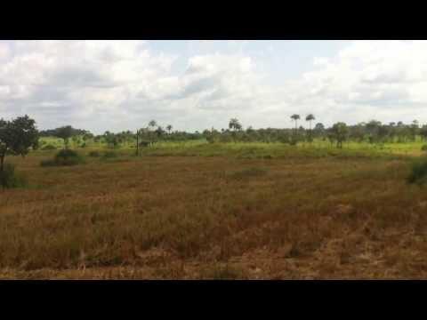 Rice Harvest Begins at Yoni Farm, September 2013