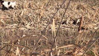 pheasant hunting - Wisconsin