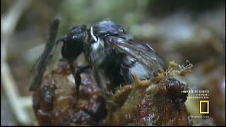 Video BUMBLEBEES - The Secret World of Bees download MP3, 3GP, MP4, WEBM, AVI, FLV Oktober 2019
