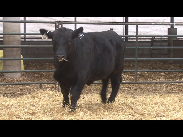 Schiefelbein Angus Farms Lot 293